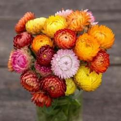 Semillas de Flor de papel o Siempreviva 1.95 - 3