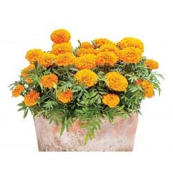 Tagetes Big Marigold Seeds 1.55 - 1