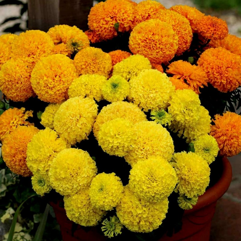 Semi di Grande Marigold 1.55 - 6