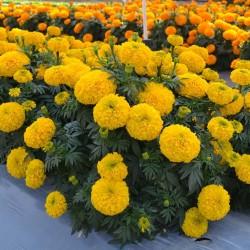 Studentenblumen Tagetes Samen 1.55 - 2