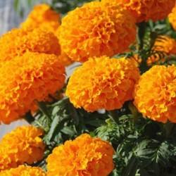 Tagetes Big Marigold Seeds 1.55 - 3