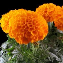 Studentenblumen Tagetes Samen 1.55 - 4