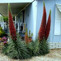 Toranj Dragulja Crveni Seme (Echium wildpretii) 2.5 - 1