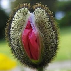 Vulva Blomma Frön 5 - 4