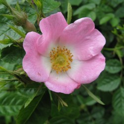 Rose Hip Seeds - Rose Haw - Rose Hep 1.85 - 3