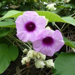 Seme Havajske Ruze (Argyreia nervosa) 1.95 - 3