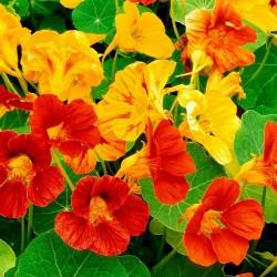 Καπουτσίνο αναμικτοι Σπόροι - φαγώσιμο, θεραπευτικό 2 - 3