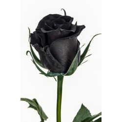 Black Rose Seeds Rare 2.5 - 2