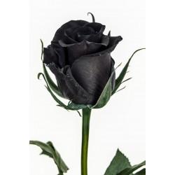 Extra Schwarze Rosen Samen Top ! 2.5 - 2