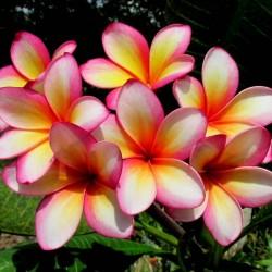 """Plumeria Seeds """"Orange Karasin"""" 2.5 - 2"""