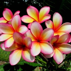 "Plumeria Seeds ""Orange Karasin"" 2.5 - 2"
