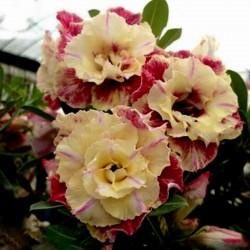 "Bonsai Wüstenrose Samen ""Lemon pink"" 1.9 - 1"