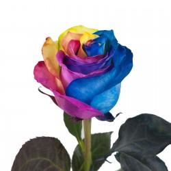 Semi di Rose Arcobaleno - Rainbow 2.5 - 1