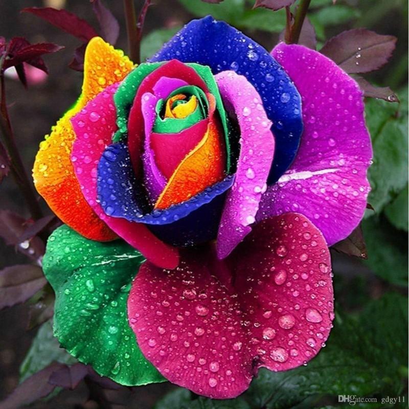 Semillas Color De Rosa Del Arco Iris Rainbow 2.5 - 4