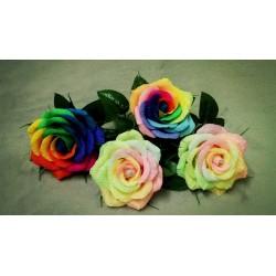 Frön Regnbåge-Rainbow Rose 2.5 - 3