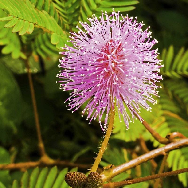 Mimose Samen - Schamhafte Sinnpflanze (Mimosa pudica) 1.35 - 2