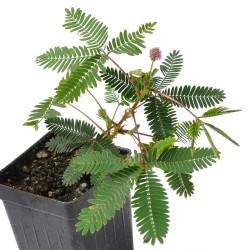 Stidljiva Mimoza Seme (Mimosa pudica) 1.35 - 1