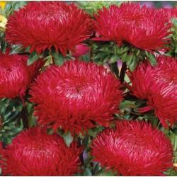 Graines de Reine Marguerite rouge 1.95 - 3