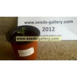 Graines de Papayer (Carica Papaya)