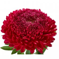Chinese Aster Red 1.95 - 1
