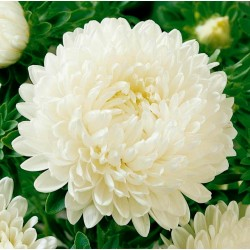 Graines de Reine Marguerite blanc 1.95 - 2