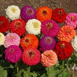 Σπόροι ζινιας - Zinnia Lilliput 1.45 - 3