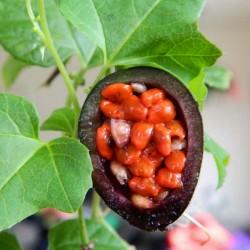 Hristov Venac Seme Passiflora morifolia 1.7 - 14