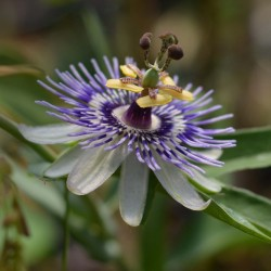 Frö av Passionsblomma (Passiflora morifolia) 1.7 - 1