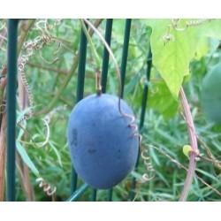 Frö av Passionsblomma (Passiflora morifolia) 1.7 - 3