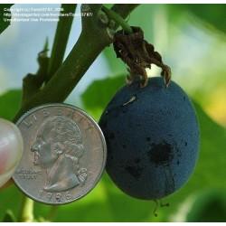 Frö av Passionsblomma (Passiflora morifolia) 1.7 - 5
