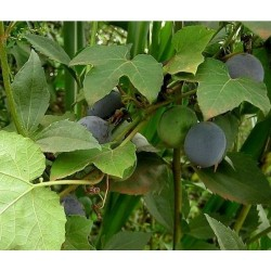 Sementes de Passiflora morifolia 1.7 - 7