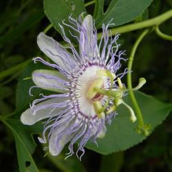 Frö av Passionsblomma (Passiflora morifolia) 1.7 - 8
