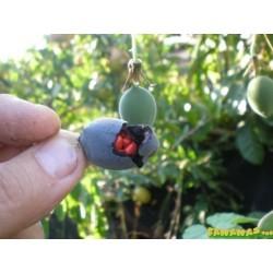 Frö av Passionsblomma (Passiflora morifolia) 1.7 - 9
