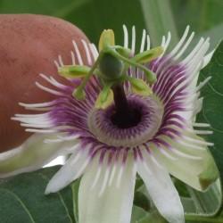 Frö av Passionsblomma (Passiflora morifolia) 1.7 - 10