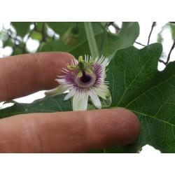 Frö av Passionsblomma (Passiflora morifolia) 1.7 - 11
