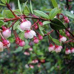 Cile Guava - Ugniberry Seme (Ugni molinae) 2.8 - 1