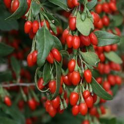 Gojibär Frön - Bocktörne (Lycium chinense) 1.55 - 2