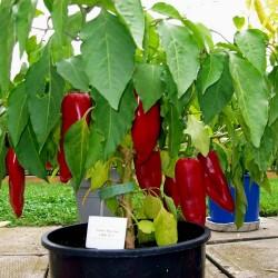 Σπόροι πιπεριά Numex Big Jim 1.75 - 2