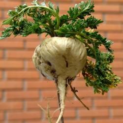 Maca Frön (Lepidium meyenii) 2.2 - 2
