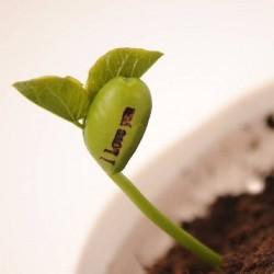 Magische Zauberbohne Bohne Saatgut Samen 1.55 - 3