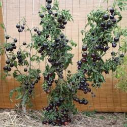 Indigo Rose Tomatfrön 2.5 - 2