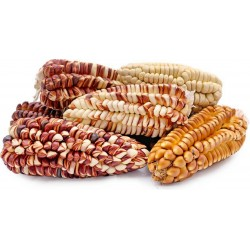 Peruanska Giant Corn Frön...