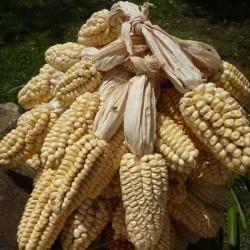 Σπόροι Περουβιανά Γίγαντας...