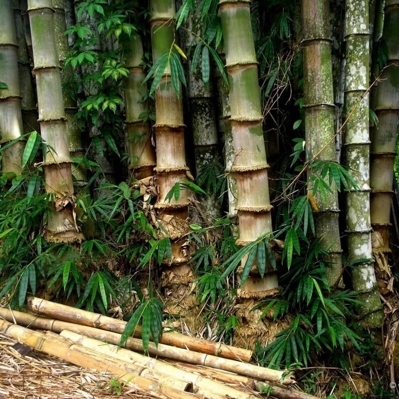 Gvozdeni Bambus Seme 4 - 4