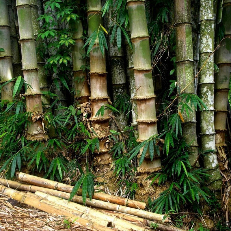 Male bamboo Seeds - Calcutta bamboo - Solid bamboo 4 - 4