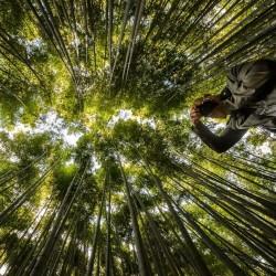 Gvozdeni Bambus Seme 4 - 3
