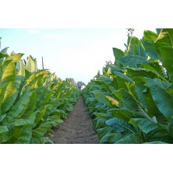 Virginia Gold Tobacco Seeds 1.75 - 3