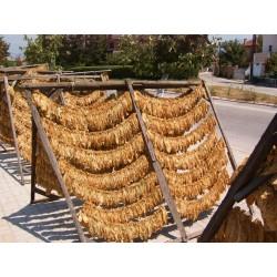 Graines de tabac Virginia Gold 1.75 - 4