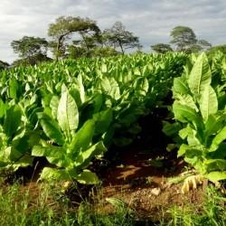 Sementes Burley Tobaco cacau como aroma 1.95 - 2