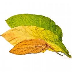 Tobaksfrön Samsoun Orient 1.75 - 1